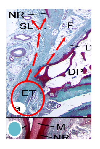 enthesis function Deleterious effects of osteoarthritis on the structure and function of the meniscal enthesis.