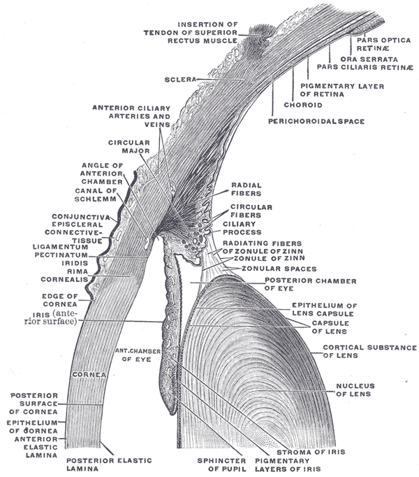 Gray on Eye Muscles Diagram