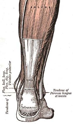 enthesis of the achilles tendon The insertion site of the achilles onto the calcaneus is an enthesis and is intimately related to the only true mr imaging of disorders of the achilles tendon.