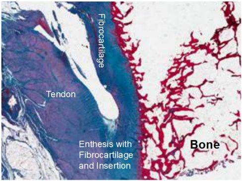 enthesis of bone